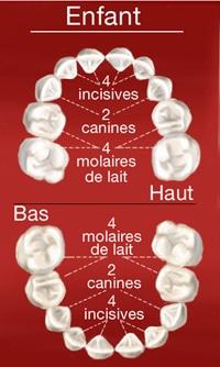 Dents de l'adulte dents de l'enfant